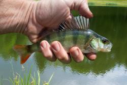 Pêche à la perche